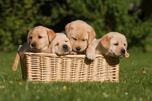 labrador puppys in a basket four cute labrador retriever puppys are sitting in a braided basket. One is tired the other wants out labrador retriever stock pictures, royalty-free photos & images