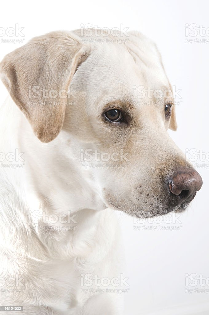 Labrador Retreiver Dog Portrait royalty-free stock photo