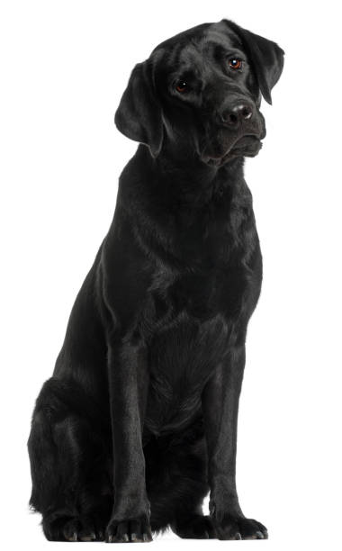 Labrador retriever 10 months old sitting in front of white background picture id855895974?b=1&k=6&m=855895974&s=612x612&w=0&h=3ebeoxx2tuwva3fr4aigd1sybbihz5kkodzjey5dofy=