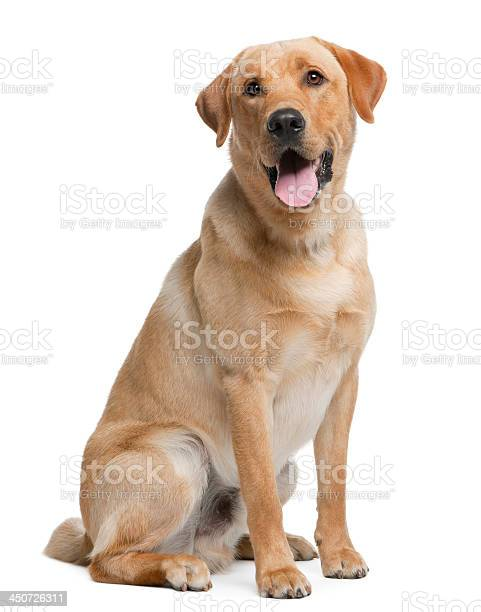 Labrador retriever 12 months old sitting picture id450726311?b=1&k=6&m=450726311&s=612x612&h=f1wxufqylbxe38tek8cy4yq95uxbrnwypdnbwhiz59m=