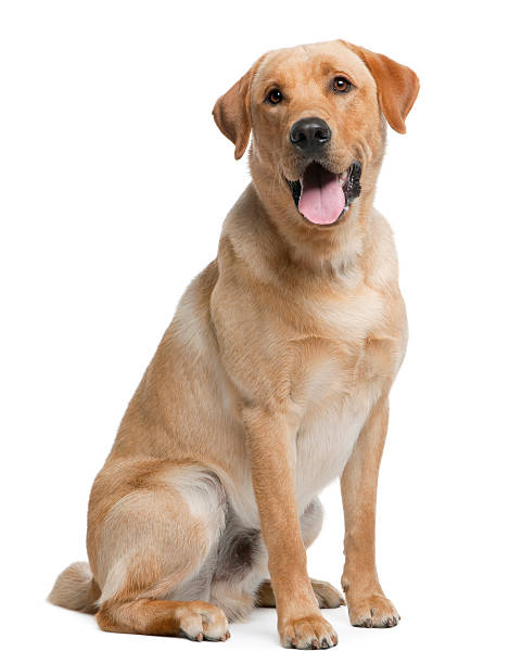 Labrador retriever, 12 months old, sitting Labrador retriever, 12 months old, sitting in front of white background retriever stock pictures, royalty-free photos & images