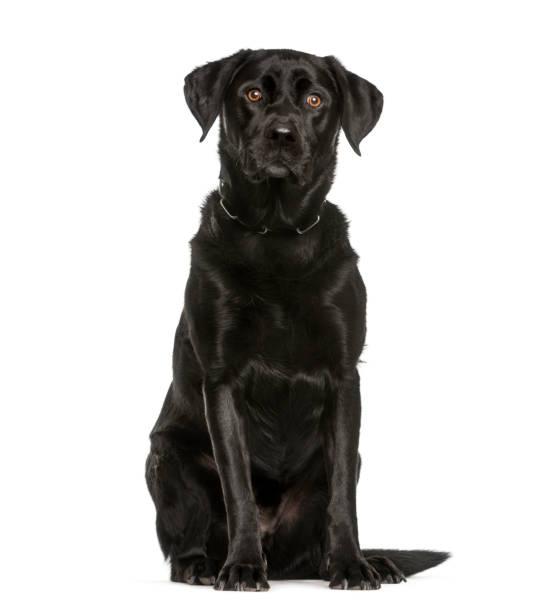 Labrador retriever 3 years old sitting in front of white background picture id1137936588?b=1&k=6&m=1137936588&s=612x612&w=0&h=1dzxnmni7xu4adlw48rrfdzvvxibpotpzpn buzf59o=