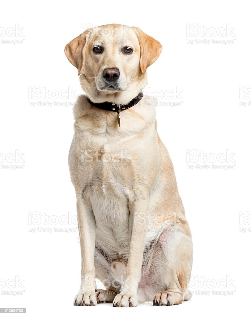Labrador Retriever, 4 years old, isolated on white stock photo