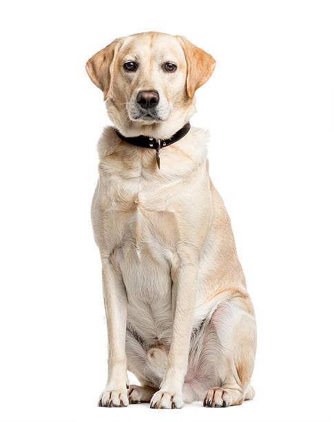 Labrador Retriever, 4 years old, isolated on white stock photo