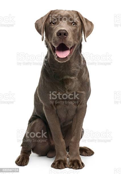 Labrador retriever 7 months old sitting picture id530592124?b=1&k=6&m=530592124&s=612x612&h=rz98a 9l3gxsrzp1iohauvdtuix7ryt9xywcwpd9nli=