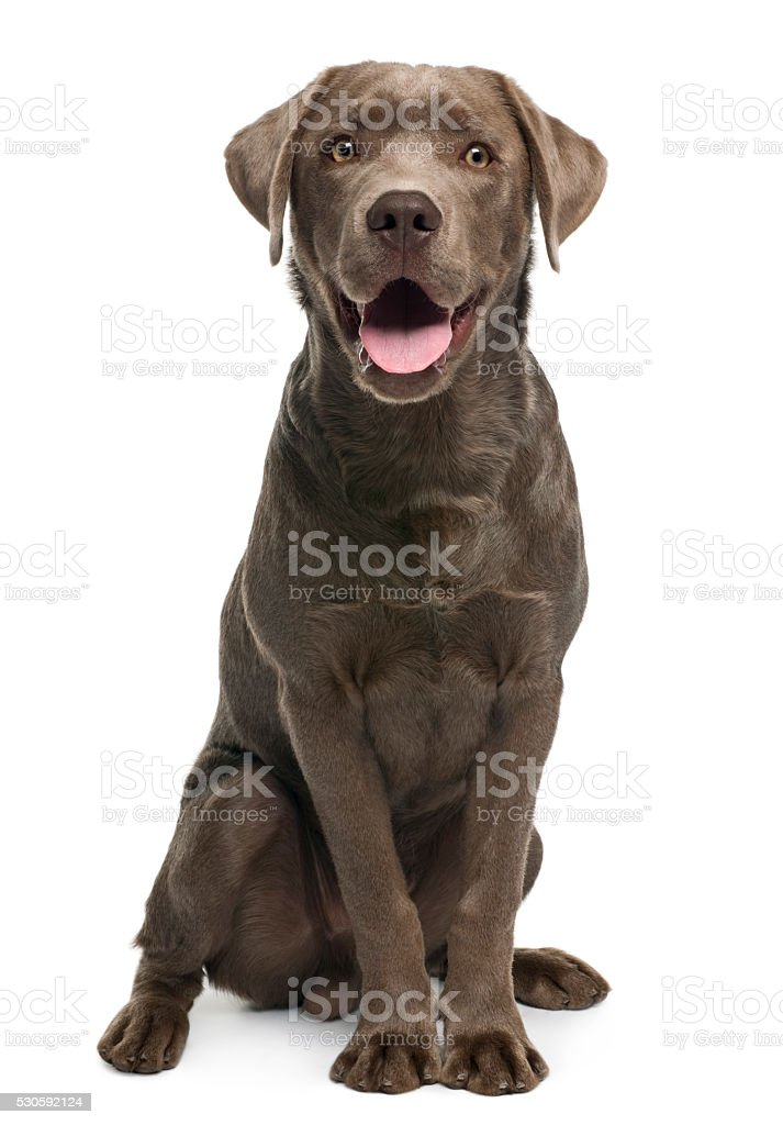 Labrador retriever, 7 months old, sitting stock photo