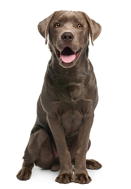 Labrador retriever, 7 months old, sitting Labrador retriever, 7 months old, sitting in front of white background retriever stock pictures, royalty-free photos & images