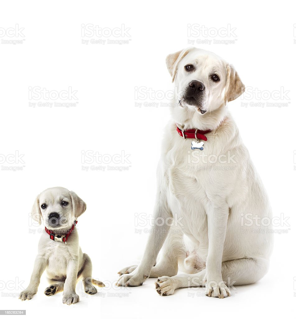 Labrador Retriever Adult And Puppy Stock Photo & More Pictures of ...