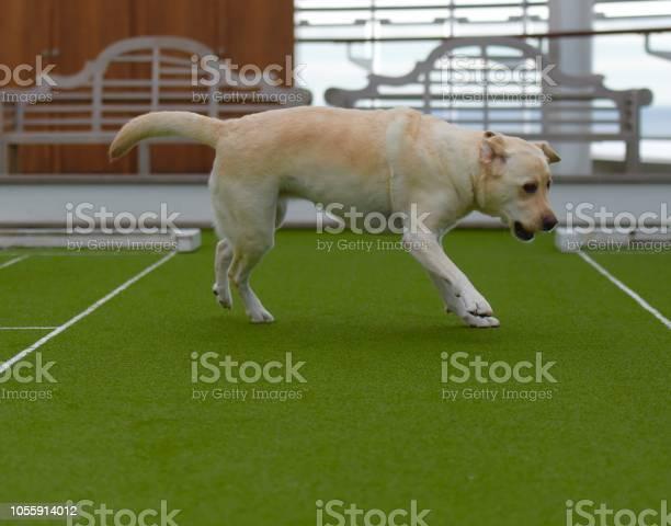Labrador retriever at sea picture id1055914012?b=1&k=6&m=1055914012&s=612x612&h=vbcczp3yya8kiuwfy swvyowjpute1k0vvmklbnldpu=
