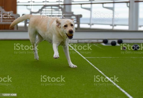 Labrador retriever at sea picture id1055914068?b=1&k=6&m=1055914068&s=612x612&h= 9shkgp4xsfcvjzaac4dx1rkicdewyoxa6ljafwbydy=