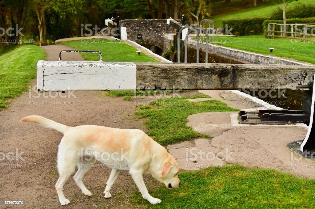 Labrador Retriever Canal Boating in Autumn stock photo