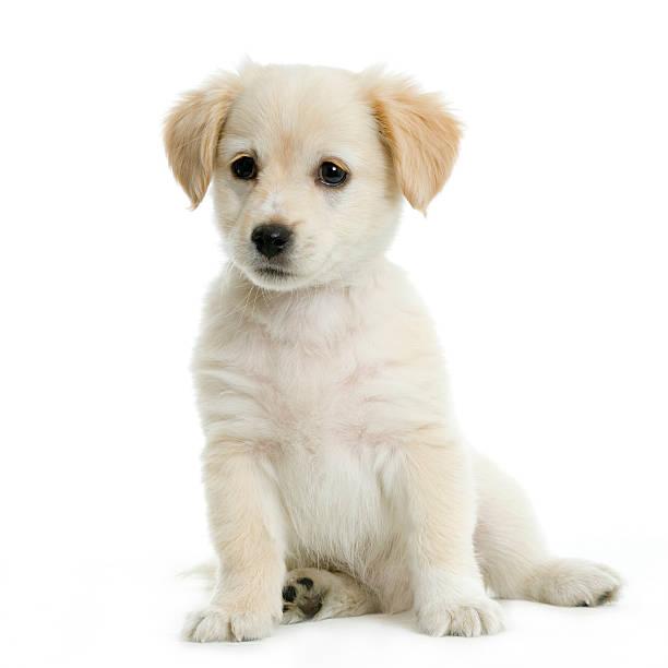 Labrador retriever cream puppy picture id92136508?b=1&k=6&m=92136508&s=612x612&w=0&h=mh3efcnmy4mf7e6itkjqne kgmmupnelluao78ngd2k=