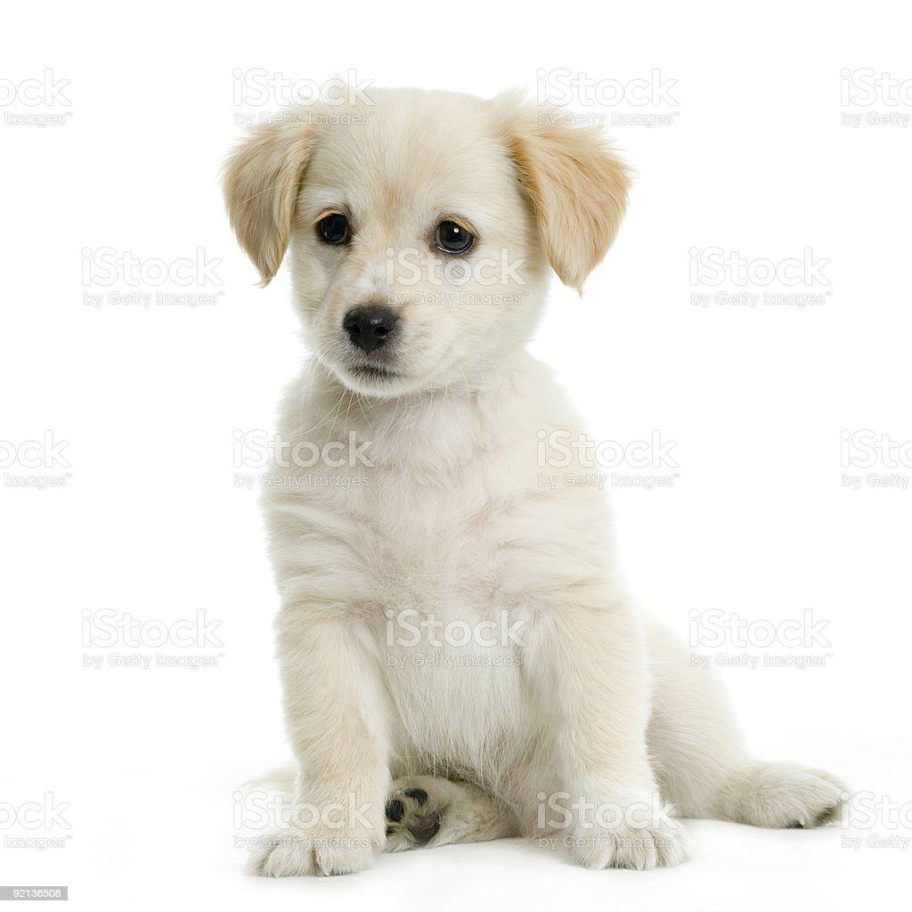 Labrador retriever cream puppy stock photo