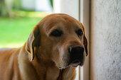 O Labrador Retriever  dura em média 14 a 15 anos. Uma das suas principais caracteristicas é a paixão pela água pois tem facilidade em nadar . Cachorro muito dócil e se bem adestrado torna-se um excelente cão-guia \nTem um focinho bem desenvolvido e com um ótimo olfato.\nCachorro muito amigo, calmo, brincalhão , companheiro e um excelente guardião\nO labrador, possui três tipos de pelagem (cores):  a cor dourada, chocolate ou preto