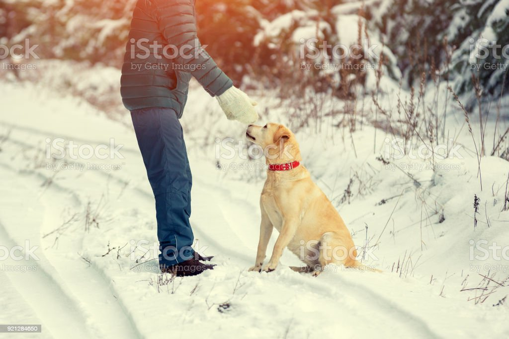 Labrador retriever dog and man playing on the road in the forest in...
