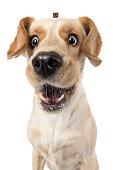 Labrador Retriever Hund fängt lustig lachend Leckerlie