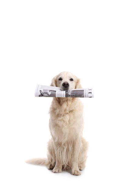 Labrador retriever dog holding a newspaper in his mouth picture id876991976?b=1&k=6&m=876991976&s=612x612&w=0&h=vg0dqlwlhv2ihgrmpdg og1wz2gkikrpkndxg3bo5fq=