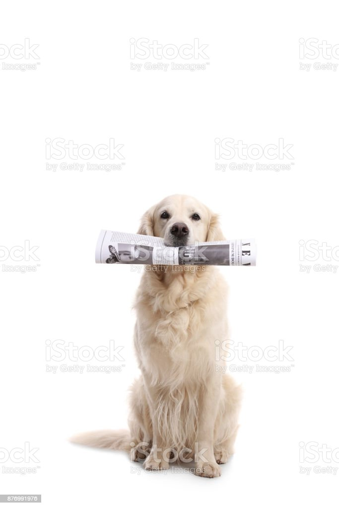 Labrador retriever dog holding a newspaper in his mouth stock photo