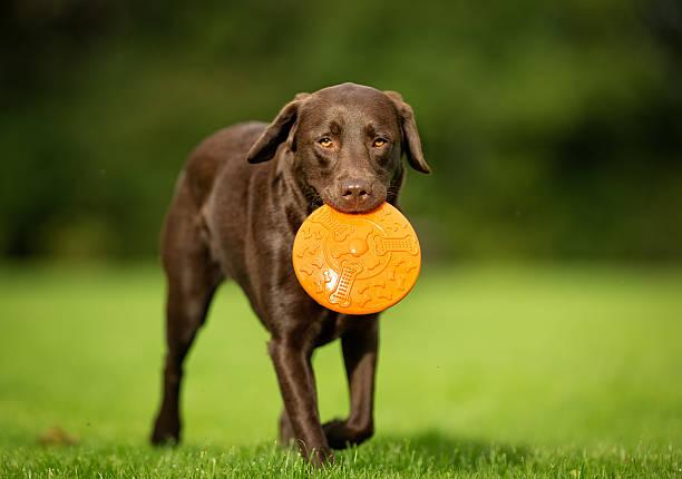 Labrador retriever dog picture id585180200?b=1&k=6&m=585180200&s=612x612&w=0&h=vhxrtstttjtbgvx8wxuw6tjwb9rueeszco3b89fxyw8=