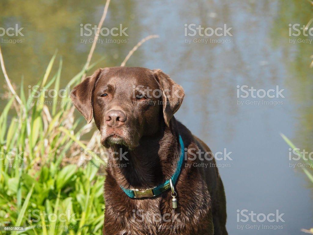 labrador retriever dog royalty-free stock photo
