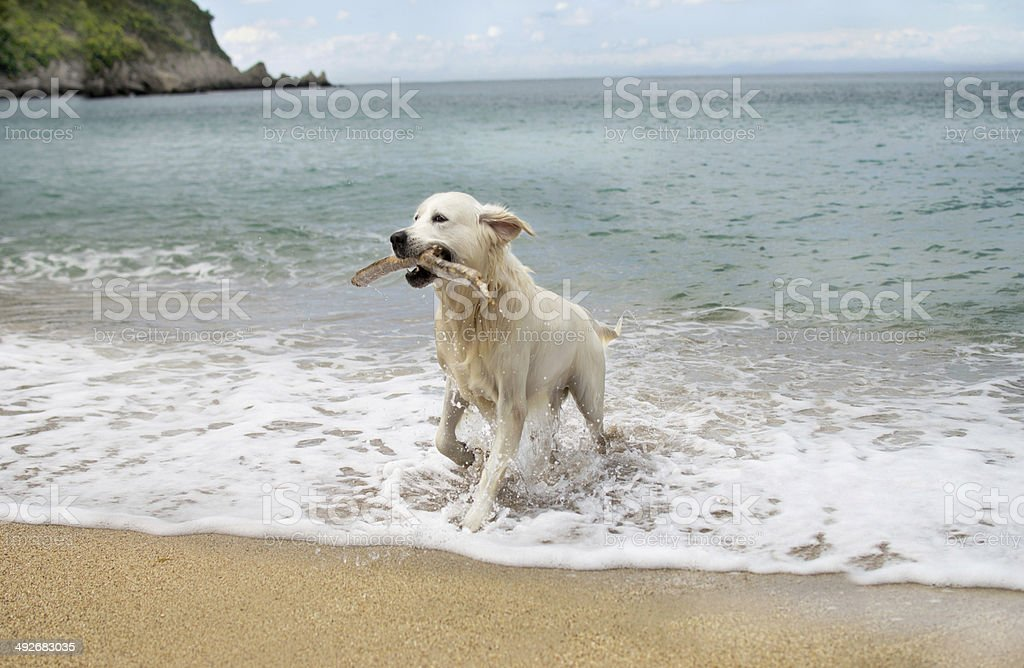 labrador retriever dog playing on ocean beach stock photo