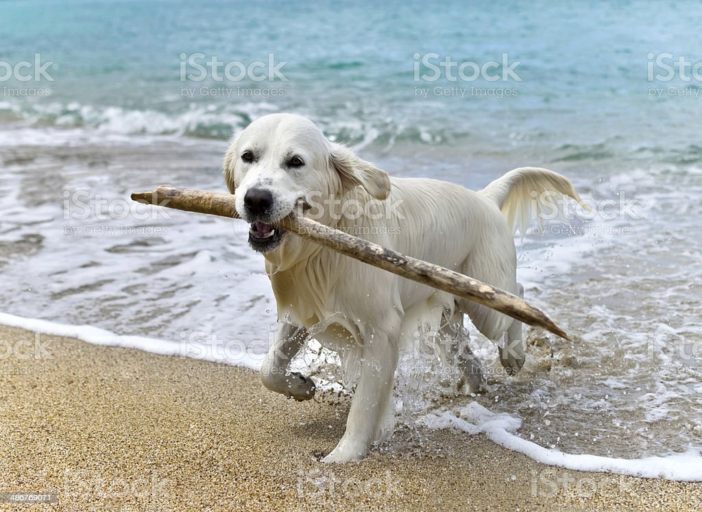 labrador retriever dog playing on the beach stock photo