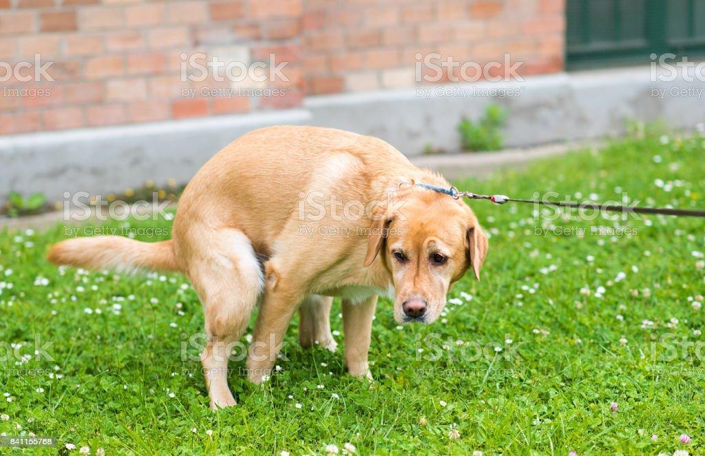 Labrador retriever dog poops in the park stock photo