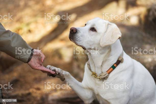 Labrador retriever dog puppy and young woman give each other the hand picture id901203188?b=1&k=6&m=901203188&s=612x612&h=pffd8djjokcr3kwbqj2fqjqhm9afn6qlvoo0kqztu08=