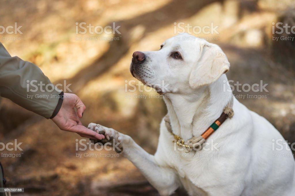 Labrador Retriever Hund Welpen und junge Frau geben sich gegenseitig die Hand und Pfote – Foto