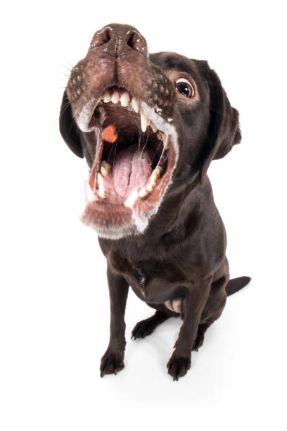 Labrador retriever dog Rassehund barks aggressively brags teeth and catches treat wide angle Labrador Retriever Hund Rassehund bellt fletscht aggressiv Zähne und fängt Leckerlie Weitwinkel zähne stock pictures, royalty-free photos & images
