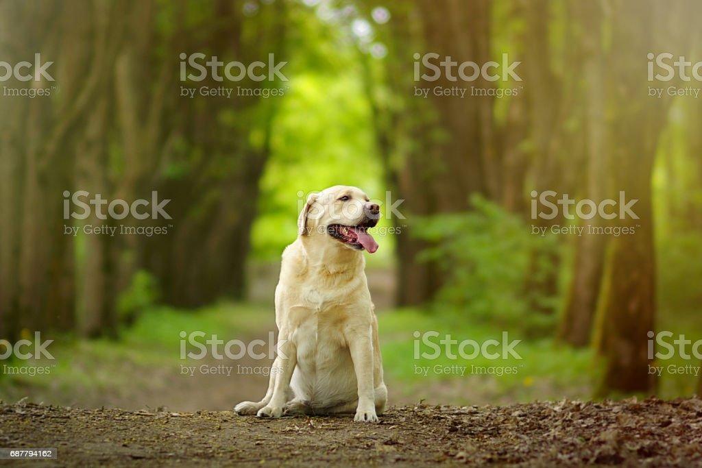 Labrador retriever dog sitting in forest path. Friendly dog smiles.