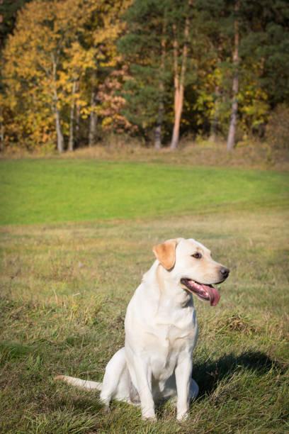 Labrador retriever dog sitting picture id869905050?b=1&k=6&m=869905050&s=612x612&w=0&h=jqfqgcqfiwarfjfszmkjrm 1wzs6ph 569utxlmpguu=