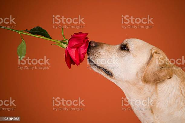 Labrador retriever dog smelling rose orange background picture id108194965?b=1&k=6&m=108194965&s=612x612&h=jitur2mqbrddewmqkeqnzpbtmijqkgregk3dltx1avo=