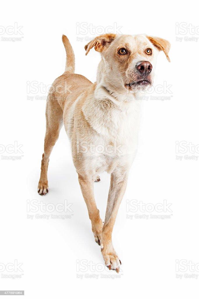 Labrador Retriever Dog Walking Forward Stock Photo & More Pictures ...