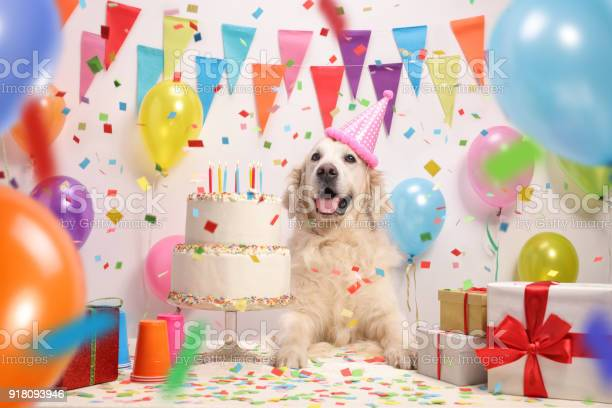 Labrador retriever dog with a birthday cake picture id918093946?b=1&k=6&m=918093946&s=612x612&h=e27vcplzbjm59o3dmns33ngyecostmbnblcpbkp xoc=