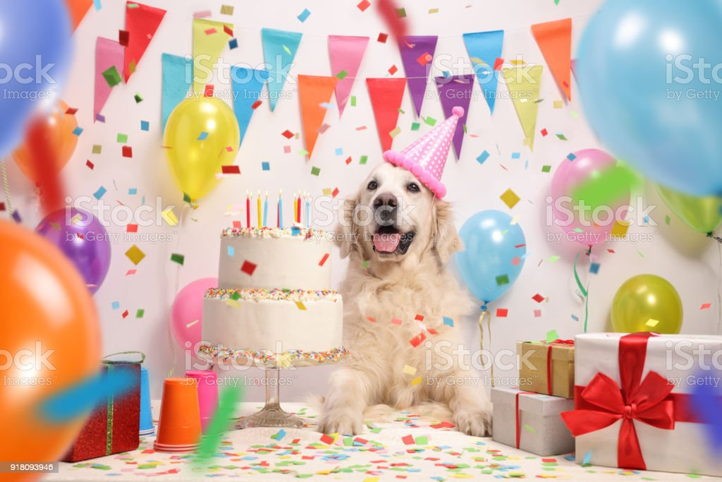 Labrador retriever dog with a birthday cake stock photo