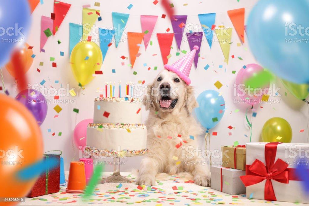 Cão labrador retriever com um bolo de aniversário - foto de acervo