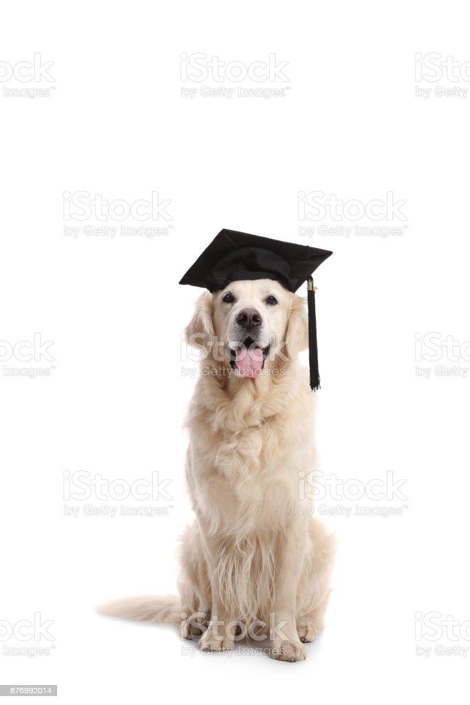 Labrador Retriever Hund Mit Einem Abschlusshut Stock Fotografie Und