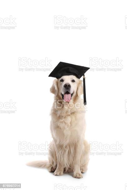 Labrador retriever dog with a graduation hat picture id876992014?b=1&k=6&m=876992014&s=612x612&h=xbous9r cj hvaesr i sjkbgdnly9 gcrx18ngy8ps=