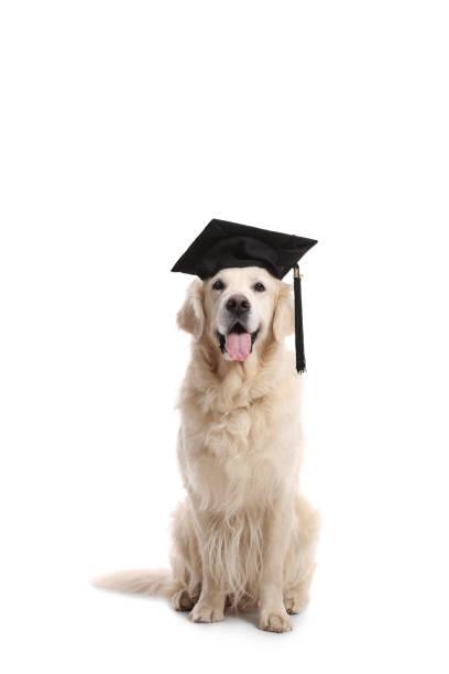 labrador retriever dog with a graduation hat - training imagens e fotografias de stock