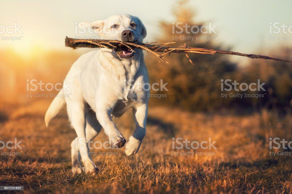 Labrador Retriever Hund mit einem Stock in den Mund laufen auf einer Wiese bei Sonnenuntergang – Foto