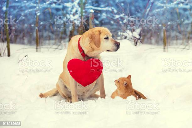 Labrador retriever dog with a toy heart on a collar and a red cat sit picture id918289608?b=1&k=6&m=918289608&s=612x612&h=2h31yqzv8jcjlsrxp7trnuxli 34umuuaq9lhuxuipk=