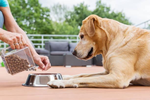 labrador retriever gets dog food - dog food imagens e fotografias de stock