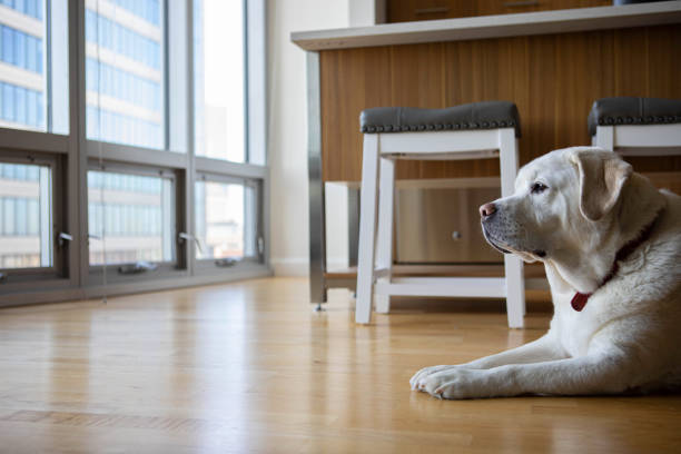 Labrador Retriever in a City Apartment stock photo
