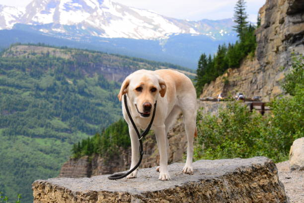 labrador retriever in glacier national park - going to the sun road stock pictures, royalty-free photos & images