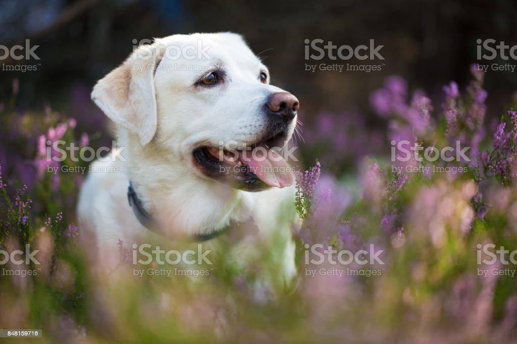 Labrador retriever dans les fleurs de bruyère - Photo