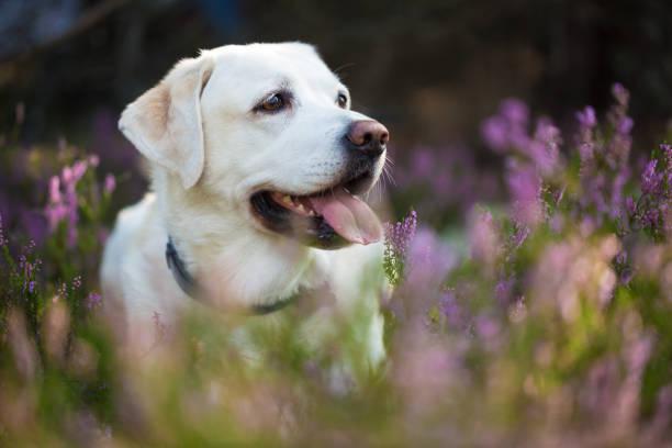 Labrador retriever in heather flowers stock photo
