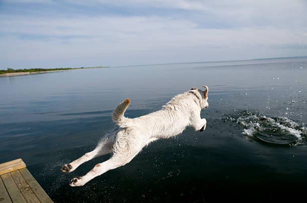 Labrador retriever jumping into water picture id92163387?b=1&k=6&m=92163387&s=612x612&w=0&h=dsqnh0wzrnmxjl75esntkst g05 icriexq 3xdja7o=