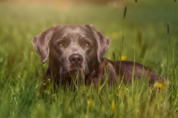 Labrador Retriever lies in the grass stock photo