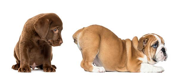 Labrador retriever looking at the butt of an english bulldog picture id450017391?b=1&k=6&m=450017391&s=612x612&w=0&h=w ru1jrzxrpxtw5k0qafuwsje3ommv0rk2 q1wh0kxq=